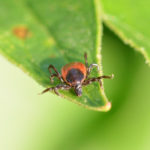 Tick-borne diseases German-English glossary